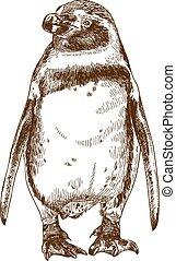 rytownictwo, rysunek, ilustracja, od, humboldt, pingwin