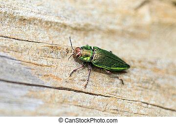 Ryukyu Jewel beetle (Chrysodema dalmanni) in Japan