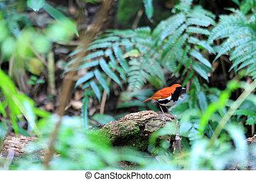 Ryukyu Robin (Erithacus komadori) in Amami Island, Japan