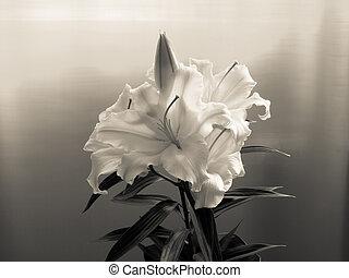 rzewliwość, lilia