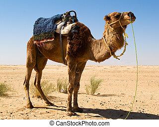 sáhara, camello