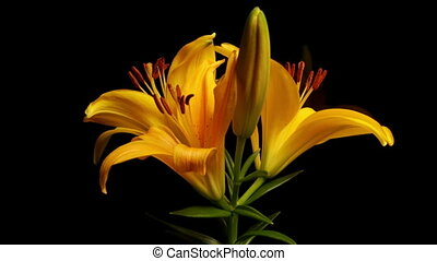 sárga, asiatic liliom, hervadás, timelap