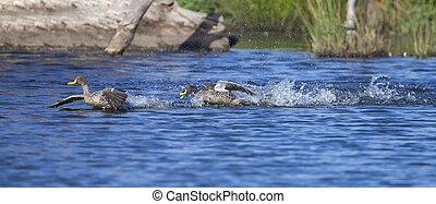 sárga, billed, kacsa, leszállás, képben látható, egy, tavacska, közül, víz