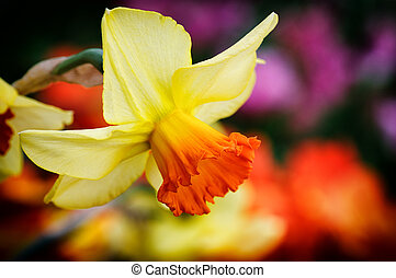 sárga, nárcisz