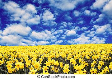 sárga, nárciszok