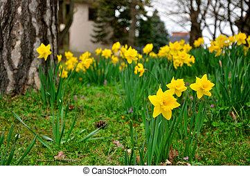 sárga, nárciszok, menstruáció, alatt, kert, közül, fulda,...
