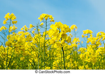 sárga, rapeseed, menstruáció, reaching, fordíts, ég