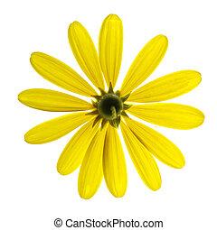 sárga, százszorszép, virág, elszigetelt, white