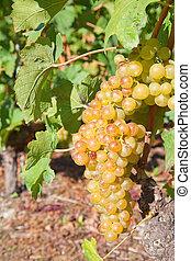 sárga, szőlő
