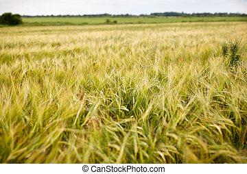 sädesslag, fält, med, spikelets, av, mogen, råg, eller, vete