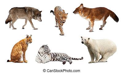 sätta, av, carnivora, mammal., isolerat, över, vit