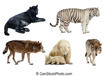 sätta,  carnivora,  över, isolerat, däggdjur, vit