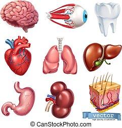 sätta, hjärna, hjärta, organs., mage, ögon, skin., vektor, tand, lungan, mänsklig, 3, njure, lever, ikon, intern medicin