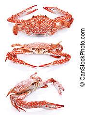 sätta, krabba, isolerat, bakgrund, vit röd