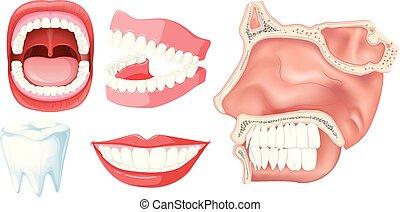 sätta, människa tand