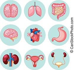 sätta, organs, mänsklig