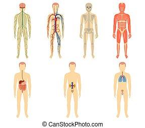 sätta, organs, system, mänsklig