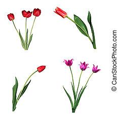 sätta, tulpaner, isolerat, bakgrund, vit röd