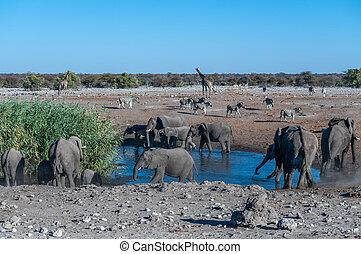 säugetiere, etosha, afrikanisch, verschieden, waterhole,...