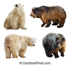 sæt, i, bears., isoleret, hen, hvid