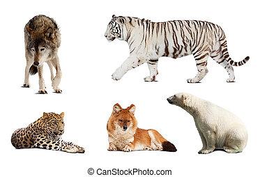 sæt, i, carnivora, mammal., isoleret, hen, hvid