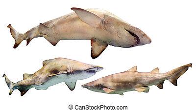 sæt, i, sharks., isoleret, hen, hvid