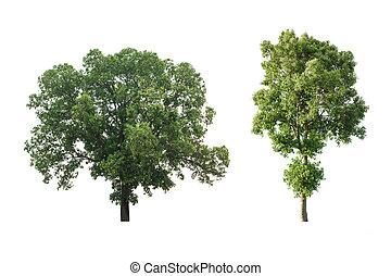 sæt, i, stort træ, isoleret, på hvide, baggrund.