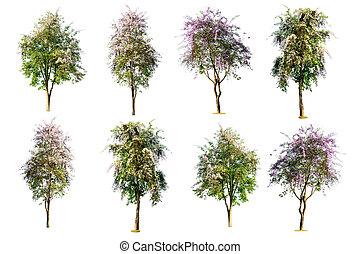 sæt, i, træ, (, lagerstroemia, speciosa, ), isoleret, på hvide, baggrund