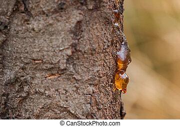 sève, australie, naturel, arbre, égouttement, jaune, arrière...