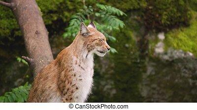 séance, alerte, lynx, forêt