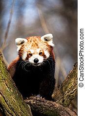 séance, arbre, zoo., panda, fulgens), rouges, (ailurus