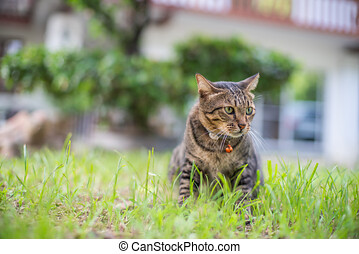 séance, chat tabby, maison, herbe, collier