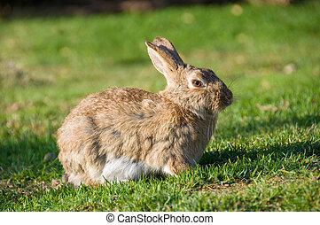 séance, ensoleillé, lapin, herbe sauvage, lapin