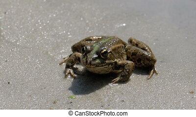 séance, grenouille, eau, rivière verte, banque