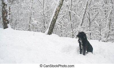 séance, neiger, neige, chien, forest., noir, il, collier