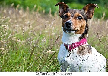 séance, russel, élevé, cric, herbe, terrier