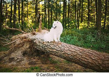 séance, samoyed, parc, chien, arbre, blanc, baissé