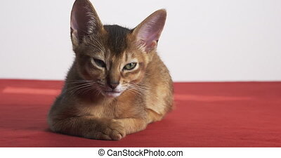 séance, table, somnolent, rouges, abyssinian, chaton