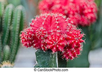 sélectif, jardin cactus, rouges, foyer