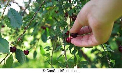 sélectif, mûre, cerises, récolte, jardin, branches, foyer, arbre.