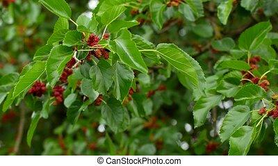 sélectif, nature, foyer, arbre, mûre, fruit, frais