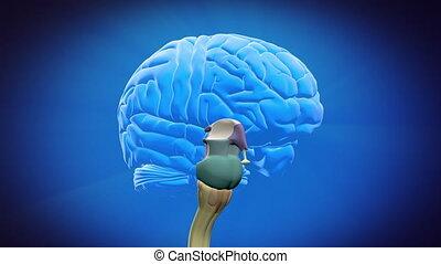 séparé, cerveau, parties, -