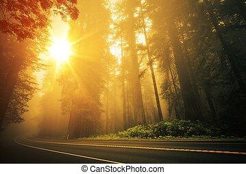 séquoia, brumeux, coucher soleil