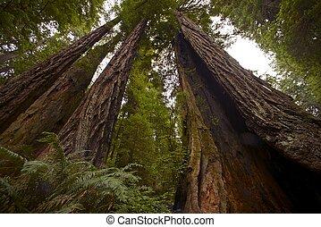 séquoia, côtier, forêt