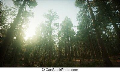 séquoia, coucher soleil, brumeux, paysage, forêt