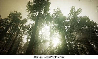 séquoia, coucher soleil, paysage, forêt, brumeux