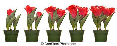 série, fleurir, tulipes