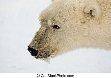 sênior, urso polar