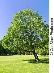 só, árvore, parque, ligado, um, dia ensolarado