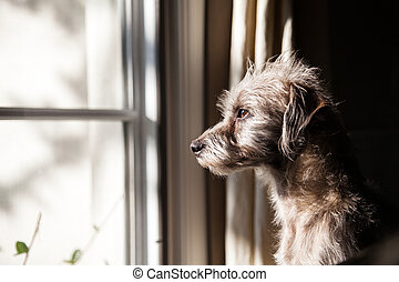só, cão, olhar janela